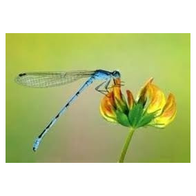 Crotalaria Juncea -100 Sement Ajuda Combater O Aedes Aegypti