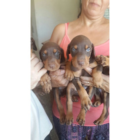 Cachorros Dobermanns Dorados Alemanes Ojos Celestes.purísims