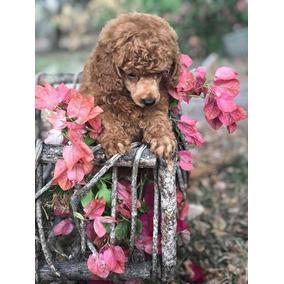 Filhote De Poodle Toy Vermelho Disponível