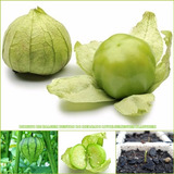 500 Sementes Physalis Green Mexicano Tomatilo Ixocarpa Verde