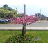 Cerezo Japones (80cm - 99cm) Sakura Arbol Original Maceta