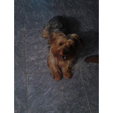 Busca Novia Yorkshire Terrier Macho Tamaño Standar