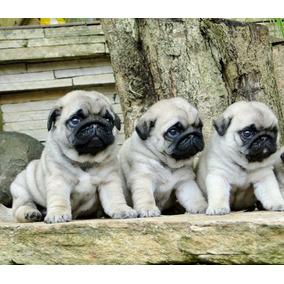 Cachorros Pug Machos Olivos. No Bulldog En Ctas Sin Interes 9242b43fe61