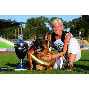 Excelente Cachorro Ovejero Alemán Pedigre Poa Campeones