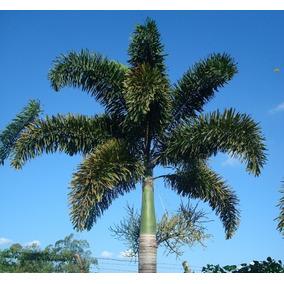 150 Sementes De Palmeira Rabo De Raposa
