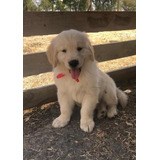 Hermosos Cachorros Golden Retriever Inscritos En Kcc, Chip