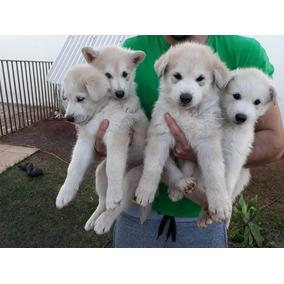 Filhotes De Lobo Cachorros De Raça No Mercado Livre Brasil