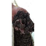 1 Kg Lombricomposta Roja Californiana (lombriz) + Sustrato