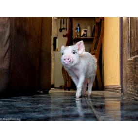 Mini Pig Hembra 3 Meses