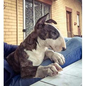 Bull Terrier Hijos De Ejemplar Europeo!! Criadero Héroes