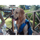 Golden Retriever Macho Busca Novia, Servicio De Monta