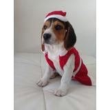 Hermosos Cachorros Beagles 13 Listos Para Entregar