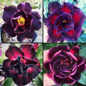 Kit 8 Sementes De Rosa Do Deserto Negras Mix Adenium - K008