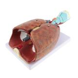 Vida Tamanho Humano Laringe Coração Lung Anatômico Modelo