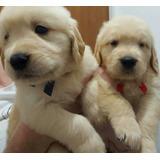 Golden Retriever Cachorros Raza Pura