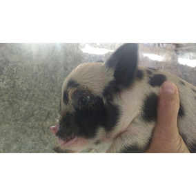 Mini Pig Lindos Vacinados