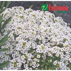 Sementes De Flor-de-mel - Alyssum B. Feltrin + Frete Grátis