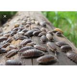 Cochinilla (isopodo)