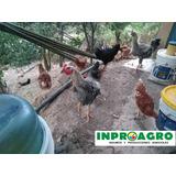 Pollos Criollos Reproductores Raza Grande Bogota