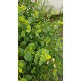 Plantines De Alcaparras Variedad Ar1