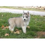 Increíbles Cachorros De Husky Siberiano