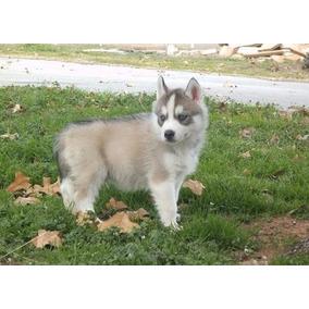 Cachorros De Husky Siberiano Encantadores