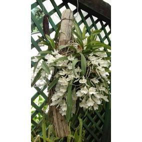 1 Rodriguesia Fragans Adultas + Frete Incluso