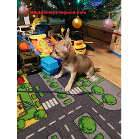 Gorgouse Navidad Chihuahua Cachorros Para Adopción