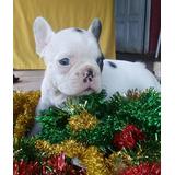 Bulldog Frances Con Ojos Azules En Mercado Libre Argentina