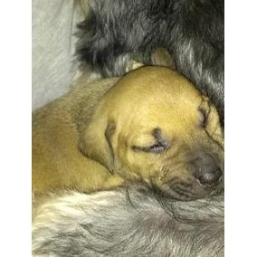 Filhotes Labrador Mae E Pai Sem Raça Definida Doa Se
