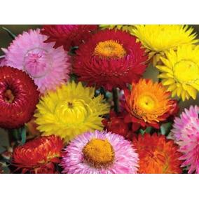 Flores Secas Siemprevivas En Mercado Libre Mexico