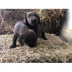 Cachorros Labrador 100% Puros!