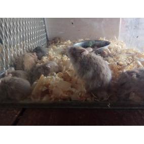 Hamster Anão Russo Promoção Compra Leva 3