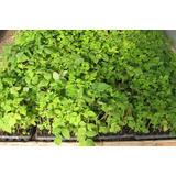 Planta Frambuesa 941584080