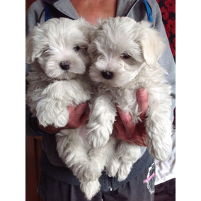 Cachorros Malteses Para Su Adopción