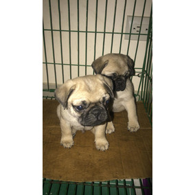 Precios Cachorros Pug