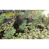 Plantas Acuáticas Para Estanques (promocio De Pinito De Ag)