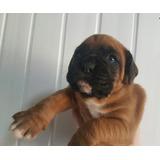 Cachorros Del Boxeador Para La Adopción