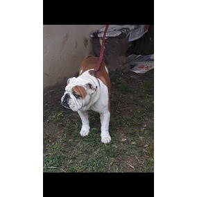 Bulldog Inglés Puro Padrote Vendo Por Fuerza Mayor
