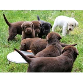 Lindos Cachorros De Labrador Retriever Disponibles