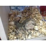 Hamster Ruso Mascotas Ideales + Comida + Sustrato