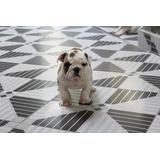 Lindos Filhotes De Bulldog Ingles, Linhagem Importada