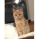 Lindo Gatito En Adopción