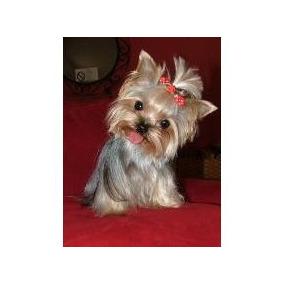 Yorkshire Terrier Mini Mini Hembra