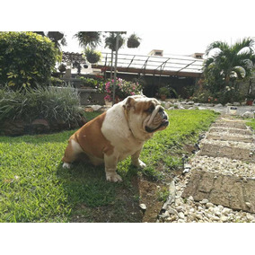 Padrote Bulldog Ingles, Con Pedigrí