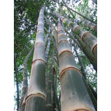 Bambu Ferro Dendrocalamus Strictus 50 Sementes Frete Grátis
