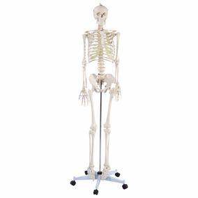 Esqueleto Humano, Modelo Anatómico 1.80 M