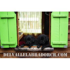 Cachorros Labrador Con Pedigrí