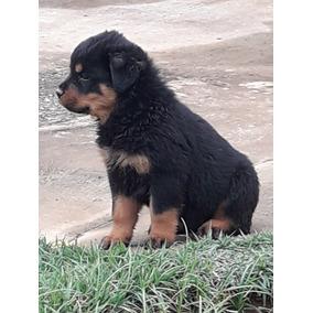 Filhote De Rottweiler C/ Garantia E Contrato Compra E Venda