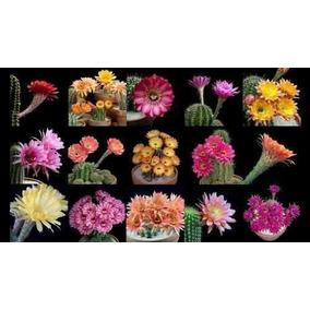 fe0b181e210 60 Sementes De Mini Cacto Sortidos - Jardins E Vasos